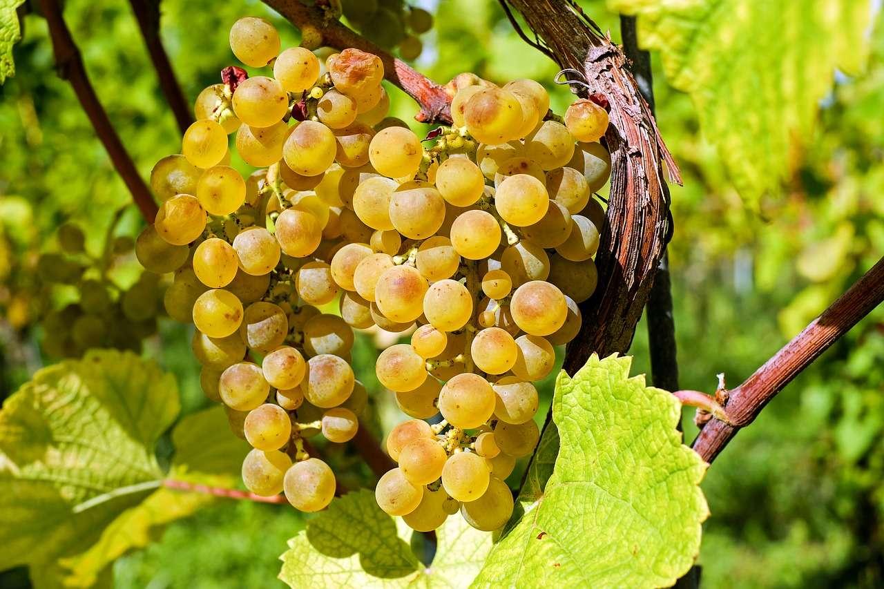 виноградная лоза зеленая