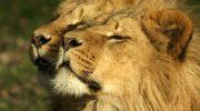 Слыхали Львы?