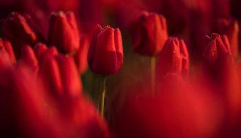 Невероятные поля тюльпанов в Нидерландах: фото и видео